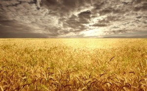 Wheat-field-at-the-sunset