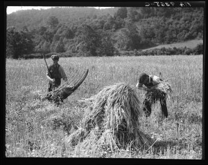 Men cradling wheat in the Shenandoah Valley. Image from the collection of the Library of Congress.